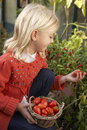 Young child harvesting tomatoes Royalty Free Stock Photos