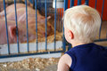 Young Child Looking at Pigs at County Fair Royalty Free Stock Photo
