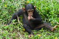 Young chimpanzee Royalty Free Stock Photo