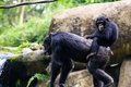 Young chimpanzee sitting on mother s back singapore zoo Royalty Free Stock Photography