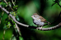 Young chipping sparrow perched on a branch Stock Image