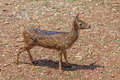 Young chital or cheetal deer Royalty Free Stock Photo