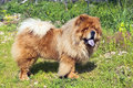 Young chow chow dog Stock Image