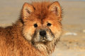 Young chow chow dog portrait wet from swimming in the ocean Royalty Free Stock Photography