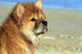 Young chow chow dog wet gazing into the distance on the beach Stock Photos