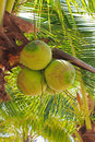 Young coconut fruit on the tree Royalty Free Stock Photography