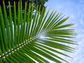 Young coconut palm leaf on a blue sky background. Royalty Free Stock Photo