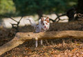 Young Collie jumping over a log Royalty Free Stock Images