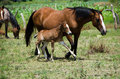 Young colt with mare walking beside in field Stock Images