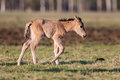 Young colt wilde horse walks in a field Royalty Free Stock Photos
