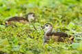 Young common moorhen close up of gallinula chloropus in nature of thailand Stock Photos