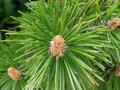 Young cones on fir tree branch green close up Stock Photography