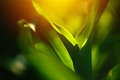 Young corn crop leaves as abstract background Royalty Free Stock Photo