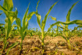 Young corn field crop view Royalty Free Stock Photo