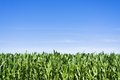 Young corn field at summer over clear blue sky Stock Images