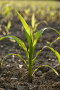 Young Corn plant Stock Photography