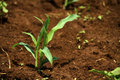 Young corn plant Royalty Free Stock Photo