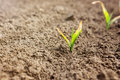 Young corn plant sprout growing. Frost damage to plants Royalty Free Stock Photo