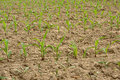 Young corn plants in a field Royalty Free Stock Photo