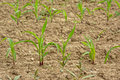 Young corn plants in a field, selective focus Royalty Free Stock Photo