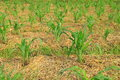 Young corn plants growing organic corn field Royalty Free Stock Image