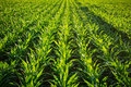 Young Corn Plants Royalty Free Stock Photo