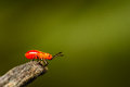 Young cotton stainer bug red Stock Images