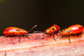 Young cotton stainer bug red Royalty Free Stock Photo