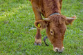 Young cow grazing Royalty Free Stock Photo