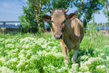 Young cow on a spring pasture portrait of Stock Photos