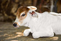 Young cow white prostrate on the ground Royalty Free Stock Photos