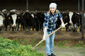 Young cowgirl collecting grass for cows female worker with pitchfork in barn Royalty Free Stock Photos