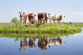 Young cows in a meadow reflected water Stock Photo