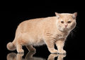 Young cream british cat on black background Royalty Free Stock Images