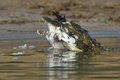 Young crocodile with prey in jaws eating dove chobe river botswana Royalty Free Stock Images
