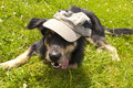 Young crossbreed dog with cap Royalty Free Stock Photography