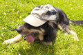 Young crossbreed dog with cap Royalty Free Stock Images