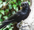 Young crow Royalty Free Stock Photo
