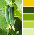 Young Cucumber in the garden.  colour palette swatches Royalty Free Stock Photo
