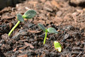 Young cucumber seedlings three in different sizes Stock Photo