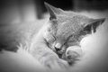 Young cute cat resting on white fur Royalty Free Stock Photo