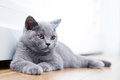 Young cute cat resting on wooden floor. Royalty Free Stock Photo