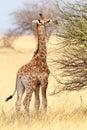 Young cute giraffe in etosha national park small grazing ombika kunene namibia true wildlife photography Royalty Free Stock Images