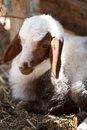 Young cute sheep Royalty Free Stock Images