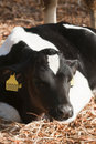 Young Dairy cattle (dairy cows) Stock Photography