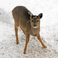 Young Deer Royalty Free Stock Photos