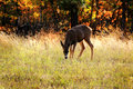 Young deer a dear grazing in a grassy field at the edge of a forest in autumn shallow depth of field Stock Image
