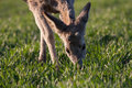 Young deer eating the grass at the morning Royalty Free Stock Images