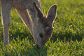 Young deer eating the grass at the morning Stock Images