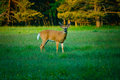 Young Deer in Green Meadow Royalty Free Stock Photo